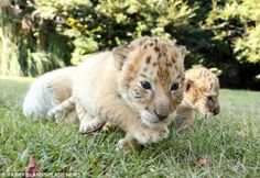 A White Tiger And A White Lion Had Babies And They Are The Cutest Things On The Planet - OMG Facts - The World's #1 Fact Source