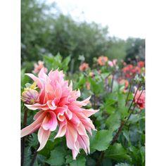 Dahlia 'Labyrinth'. Last year's love.  #dahlia #labyrinth #britishgrown #britishflowers #flowerfield