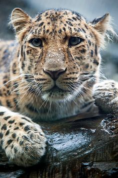 wisnian:    (via The Amur Leopard again | Flickr - Photo Sharing!)