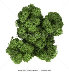 Top View Of Umbrella Tree Isolated On White Background By Maksym Bondarchuk Via ShutterStock