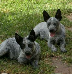 Stumpy Tail Australian Cattle Dog | Australian Stumpy Tail Cattle Dog Purebred Puppies for sale in ...