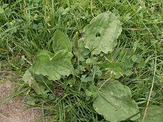 Jitrocel větší - Plantago major Botany, Herbalism, Vegetables, Garden, Garten, Vegetable Recipes, Lawn And Garden, Outdoor, Tuin