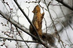 Squirrel, Coppell, Texas by nikname, via Flickr
