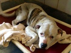 RESCUED!!! **FOSTERED THRU SAPA!**   #TEXAS LAST CALL FOR SNOOPY 2/19!! **PAST DEADLINE! $172 in pledges SUPER SUPER URGENT!!  Needs Commitment by 5PM & Picked Up by 6:30PM WED 2/19** To adopt, foster/ rescue please email: placement@sanantoniopetsalive.org 283553 - Snoopy is a stunning 2YR old Staff mix. Sweet and loves to go for walks!!  https://www.facebook.com/photo.php?fbid=432568916845632&set=a.432829010152956.1073742337.236899813079211&type=1&theater&notif_t=comment_mention