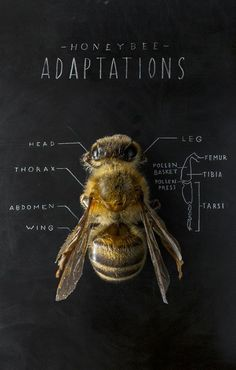 Anatomy of a bee is like most insects I Love Bees, Birds And The Bees, Buzzy Bee, Bees And Wasps, Bee Art, Save The Bees, Bee Happy, Bees Knees, Queen Bees