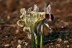 Iris persica by Irfan Ersin AKINCI on 500px