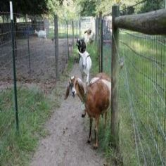 Do you know where your Goat is NOW? A quick overview over fencing materials, fencing type, fencing do's and don'ts.