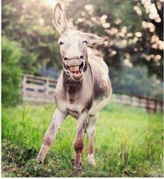 Если ослик подружится с вами, то при виде вас он может начать сопеть, фыркать, ржать или  делать вот такое милое лицо.