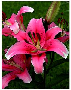 pink lily - Bing images