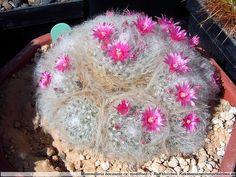 Mammillaria bocasana roseiflora. Powder puff cactus. Central Mexico native. Ball/clumping shape.