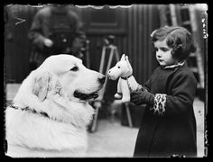 Barbara Parsons introducing her toy dog to Kapile Carei, a Pyrenean Mountain dog, on the first day of Crufts Dog Show.  Taken by Malindine for the Daily Herald newspaper on 10 February, 1937. http://www.huffingtonpost.co.uk/entry/crufts-2016-vintage-pictures-from-the-early-1900s_uk_56e15fe4e4b03fb88edd8346