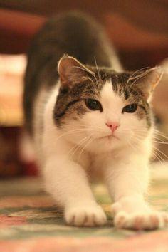Downward dog kitty