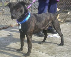 BOB (lovable & friendly boy) NOW ADOPTABLE!!!! Picked up as a stray on 1/8.  Available on 1/13.  Bob was in a garage pen to start with, and the picture does not show what a gorgeous dog he is!  This young, well cared for dog, looks to have more lab in the mix than pit bull.  He is smart,...