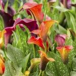 Calla lilies are an asset to any garden. But, if you would like to see calla lilies year after year in your garden, you will need to take a few extra steps for calla lily winter care. This article will help with that. Calla Lily Flowers, Calla Lillies, Bulb Flowers, Lilies, Lilly Garden, Lily Care, Zantedeschia Aethiopica, Canna Lily, Lily Bulbs
