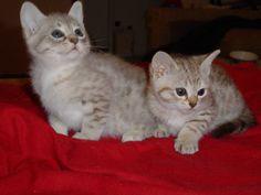 raça de gatos da austria:Spotted Mist -