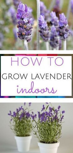 Gardening Indoor Growing lavender is incredibly easy with this guide! Lavender, Lavender Gardening, Gardening, indoor Gardening, Indoor Gardening Projects - Learn how to grow lavender indoors with this grow guide! Growing lavender is so easy! Indoor Vegetable Gardening, Hydroponic Gardening, Hydroponics, Container Gardening, Organic Gardening, Garden Plants, Indoor Plants, Gardening Tips, Indoor Lavender Plant