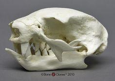 two toed sloth skull bc-098-lg.jpg (900×643)