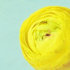yellow ranunculus <3