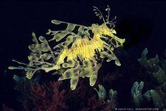 2nd coolest ocean creature - Leafy Sea Dragon