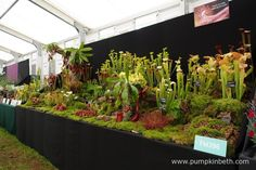 Hewitt-Cooper Carnivorous Plants created a wonderful display of carnivorous plants for the RHS Hampton Court Palace Flower Show Their exhibit featured Sarracenias and Drosera, it was awarded a Gold Medal by the RHS Judges. Hampton Court, Annual Flowers, Carnivorous Plants, Judges, Flower Show, Stems, Red Flowers, Exhibit, Palace