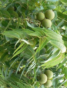 Black Walnut - he knocks out parasites and other ickiness dwelling in your gut flora.  He rocks.