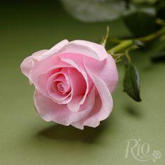 Rio Roses - Titanic