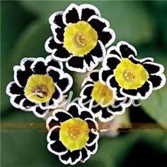 Bumblebee primulas