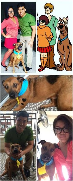 Scooby Doo Dress Up. Easy diy costumes. Dog costume painted spots made the dog tag out of felt and used a blue bandana for the collar. halloween costume scooby, shaggy, and velma - jinkies! mutt boxer ridgeback dog. diy costumes with dogs, scooby doo cosplay. best costumes for dogs  #chloebearpawdventures