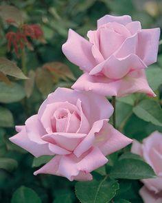Pink Rose flower ❀Alive❀