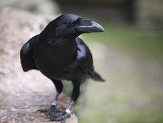 i miss my ravens ...