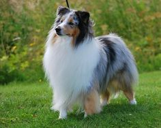 #vetinsittingbourne The body of Shetland sheepdog is slightly longer than tall, measured from prosternum to point of buttocks, but the length is derived from good angulation and not actual length of back.