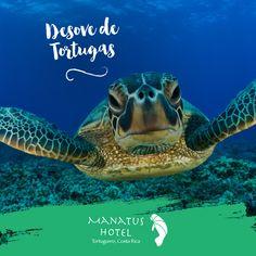 Las cuatro especies de tortugas que se reproducen en el mar Caribe son: la gigantesca Baula, la Verde, la caguama de color pardo y la carey. #Ecoturismo