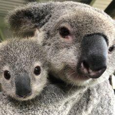 Picture perfect 🐨 Look at our darling baby Tallow and her mummy Prada 😊 . Wombat, Queensland Australia, Emu, Kangaroo, Prada, Baby, Animals, Baby Bjorn, Animales