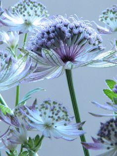 Astrantia, a group of pretty flowers also known as masterwort - Same family as carrots. Colorful Roses, Exotic Flowers, Amazing Flowers, Beautiful Flowers, Beautiful Gorgeous, Astrantia Major, Deco Floral, Garden Inspiration, Garden Plants