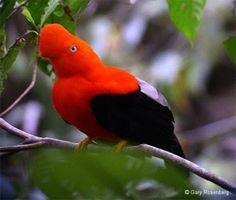 Animales del Perú: Gallito de las Rocas o Tunqui PERÜ