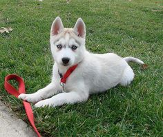 free-ads.eu - Dogs - Puppies classifieds: Home Trained Siberian Husky Puppies