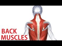 Back Muscles Anatomy - Trapezius, Latissimus, Rhomboid Anatomy