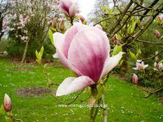 Magnolia x soulangeana 'Veitchii Rubra' - Sierboom - Hortus Conclusus  - 1