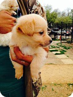 ADOPTED!  Meet Gordon a Corgi mix Puppy for Adoption at East Lake Pet Orphanage (ELPO).