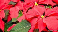 weihnachtsstern zum vergr ern klicken pflanzen pinterest weihnachtssterne. Black Bedroom Furniture Sets. Home Design Ideas