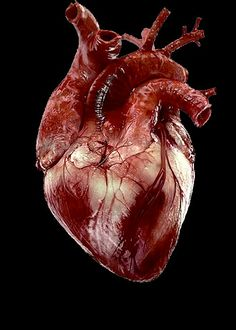 human body is fascinating on pinterest human heart anatomy and