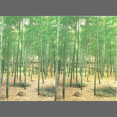Bamboo Forest wall mural wallpaper, 8 part: 1861 | Asian Wall Murals