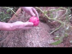 Red Potato Harvest: How I Got 10X Yield - YouTub I planted 5 lbs of red seed potatoes in a 15' box and harvest almost 50 lbs of nice sized red potatoes. I did not mound or hill the potatoes. I fed them once a week and let the automatic watering system water them for 1-2 minutes a day. It couldn't have been easier. I tried for two years to grow potatoes in a potato box but never had any harvest. The potato boxes were definitely more work with no harvest. The 4'x4'x4 www.gardentheeasyway.com
