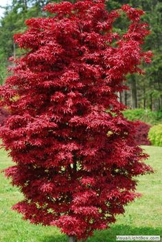 Twombley's Red Sentinel - narrow fastigiate upright. Has red stems in winter. Sport from Bloodgood.