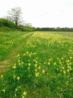 Great walks at Courtyard Farm in Ringstead, cowslips or poppies depending on season