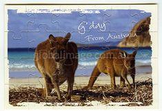 Kangaroos on the Beach Lucky Bay Western Australia        Jigsaw-Card 134