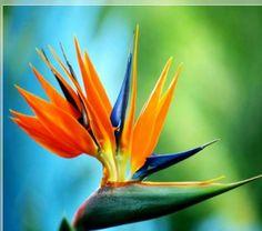 """Cennet Kuşu Çiçeği  Turna Gagası -steraliçya (strelitzia) Ülkemizde """"Cennet Kuşu Çiçeği"""" veya """"Turna Gagası"""" olarak bilinen Starliçe, Strelitziaceae ailesine dâhildir. Bu bitkinin bilimsel adı Strelitzia regina'dır. Ancak ailede """"Turna Gagası"""" dışında ülkemizde fazla tanınmayan 4 tür bitki daha bulunmaktadır. Yaprak dökmeyen, çok yıllık, kardeşlenme yapan bu bitkiler, Güney Afrika' nın açık otlakları veya nehir kıyılarında bulunurlar.Sterliçya (Cennet kuşu çiçeği, turna gagası);"""