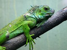 Iguana (Iguana Iguana) - Animals - A-Z Animals - Animal Facts ...