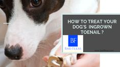 HOW TO TREAT YOUR DOG'S INGROWN TOENAIL ? Best Dog Food, Best Dogs, Tick Removal Dog, Dog Rash, Cat Skin, Ingrown Toe Nail, Dog Nails, Chihuahua Dogs, Chihuahuas