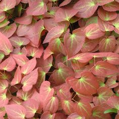 Epimedium x rubrum. Easy to grow with fantastically colouring leaves in both Spring and Autumn and a Spring show of lovely red flowers - what's not to love. Woodland Plants, Woodland Flowers, Woodland Garden, Dry Shade Plants, Shade Garden Plants, Plum Garden, White Flower Farm, Leaf Coloring, Plants